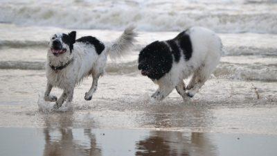 Zaszczep psa mikroczipem na koszt miasta. Akcja skierowana jest do właścicieli czworonogów zameldowanych w Kołobrzegu