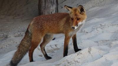 Miejskie lisy są odławiane i wywożone do lasu. Ale to się może wkrótce zmienić