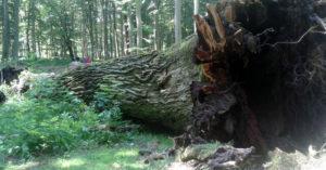 Rajd rowerowy szlakiem najstarszych dębów w Polsce