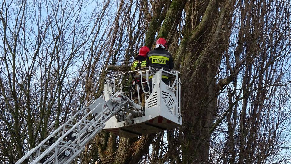 drzewa olobrzeg3 - Trwa trudne i niebezpieczne usuwanie topoli, która oparła się o pawilon przy ul. Dworcowej (zdjęcia)