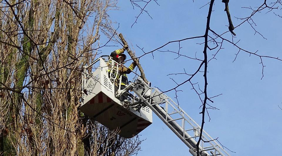 drzewa9 - Trwa trudne i niebezpieczne usuwanie topoli, która oparła się o pawilon przy ul. Dworcowej (zdjęcia)