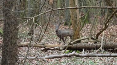 Opustoszałe parki przyciągają dzikie zwierzęta (ZDJĘCIA)