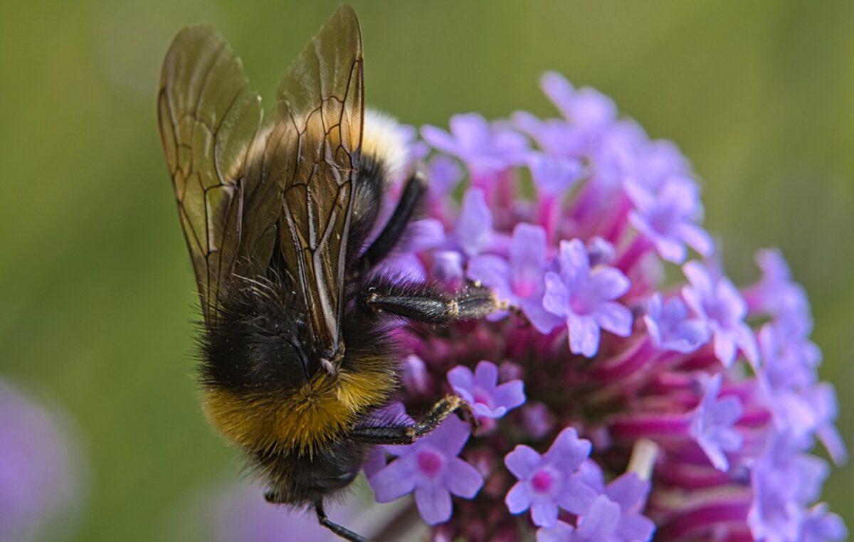 W Ustroniu Morskim powstaną hotele dla samotnych pszczół i ogród lawendowy