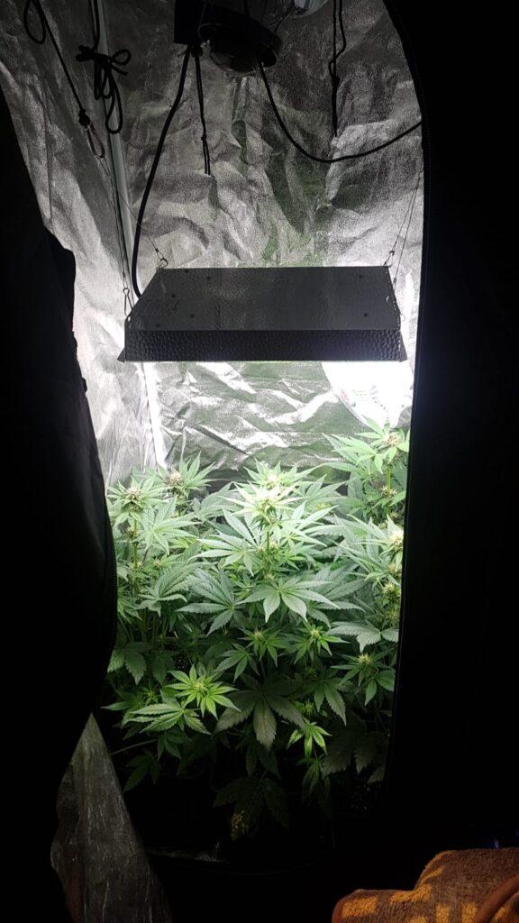 marihuana kolobrzeg 576x1024 - 25-latek z Kołobrzegu uprawiał w wynajmowanym mieszkaniu marihuanę