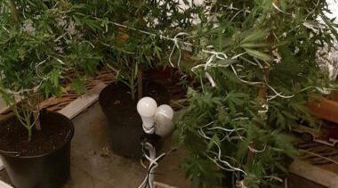 Nielegalna uprawa konopi na ogródkach działkowych